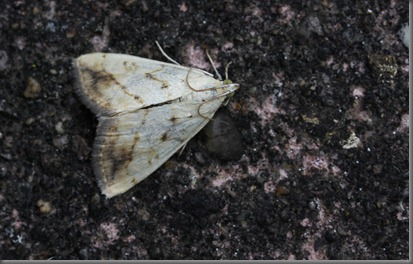 10_07_20_moths_026_Evergestis extimalis