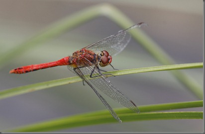 10_07_20_cliffe_059_ruddy_darter