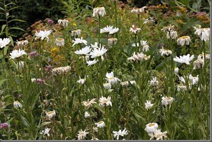 10_07_25_longfield_230_ox_eye_garden