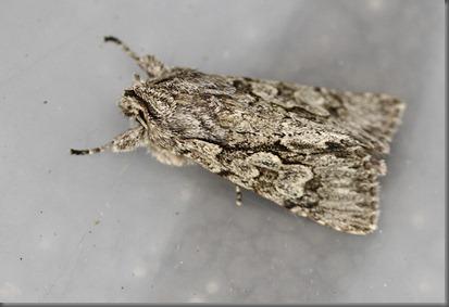 11_03_13_moths_060_early_grey