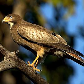White-eyed Buzzard by Jayant Atrey - Animals Birds ( animals, nature, raptors buzzards, birds )