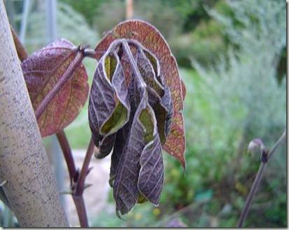 frusen bönplanta