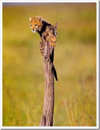 CuteCheetahCubOnTree