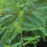Bald_Cypress_Leaves.jpg
