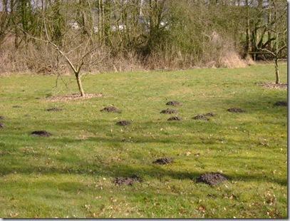 Muldvarper 022
