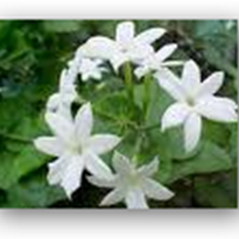 Jasmine Substituting for Valium – Has the Same Molecular Mechanisms And Works on Mice – Patented
