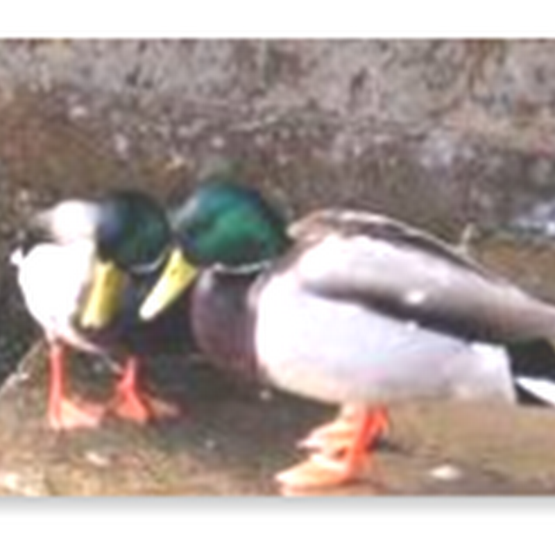 If You Don't Use It You Lose It–Ducks Engineer Their Own Phallus Relative To Their Social Surroundings