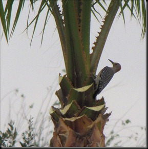 gold fronted woodpecker2