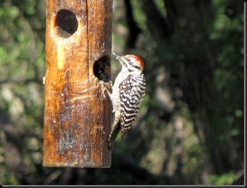 woodpecker2 [800x600]