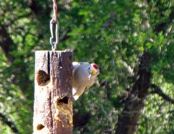 GoldenFrontedWoodpecker [800x600]