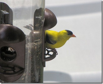 goldfinch8