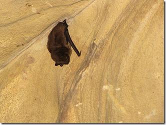 LaurelCaverns Bat