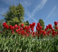 tulipes_2_web