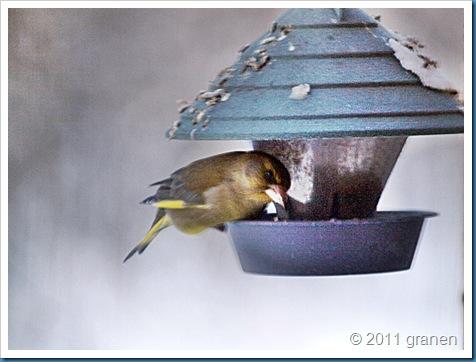 Ensam grönfink (Gården)