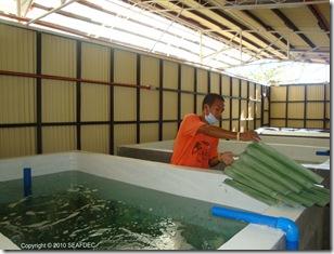 Indoor larval rearing tanks