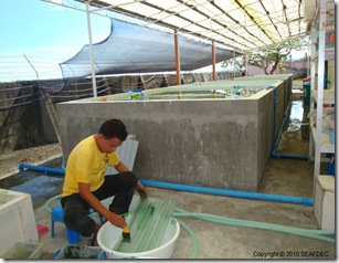 "Algae is ""painted"" onto settlement plates for sea cucumber"