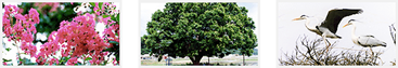 Uiseong Tree of the Town Zelkova Acuminata