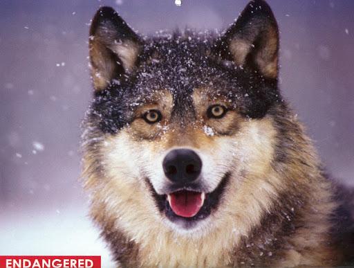 Balkan Zona Server! Wolf1W