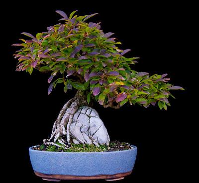 reiners bonsai blog fortschritte. Black Bedroom Furniture Sets. Home Design Ideas
