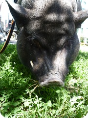 Alistair the pig 046