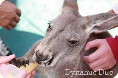 kangaroo - boomer