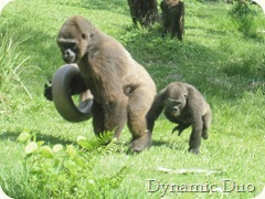 gorilla - daddy with baby playing