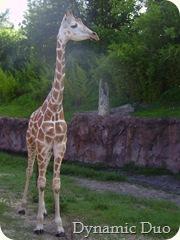 giraffe baby close up