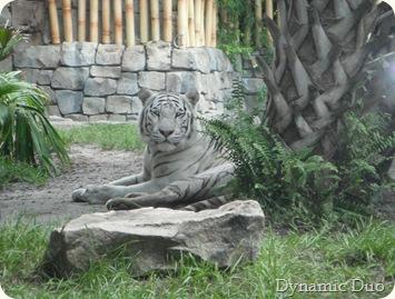tigers (2)