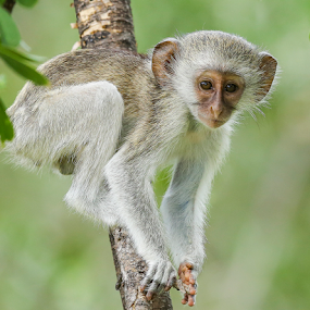 monkey play by Rian Van Schalkwyk - Animals Other Mammals ( vervet monkey, monkey )