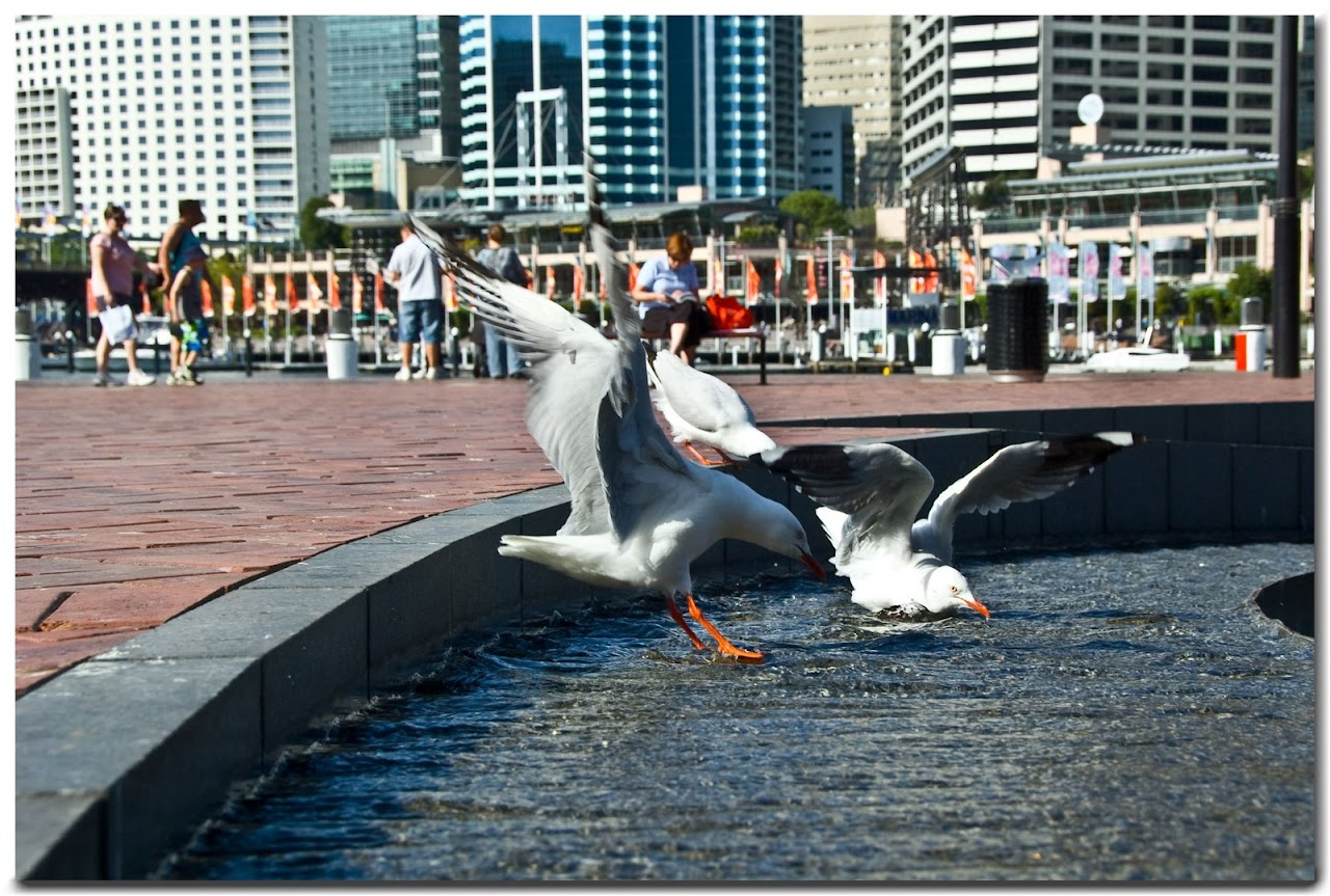 Seagulls in Darling Harbour fountain