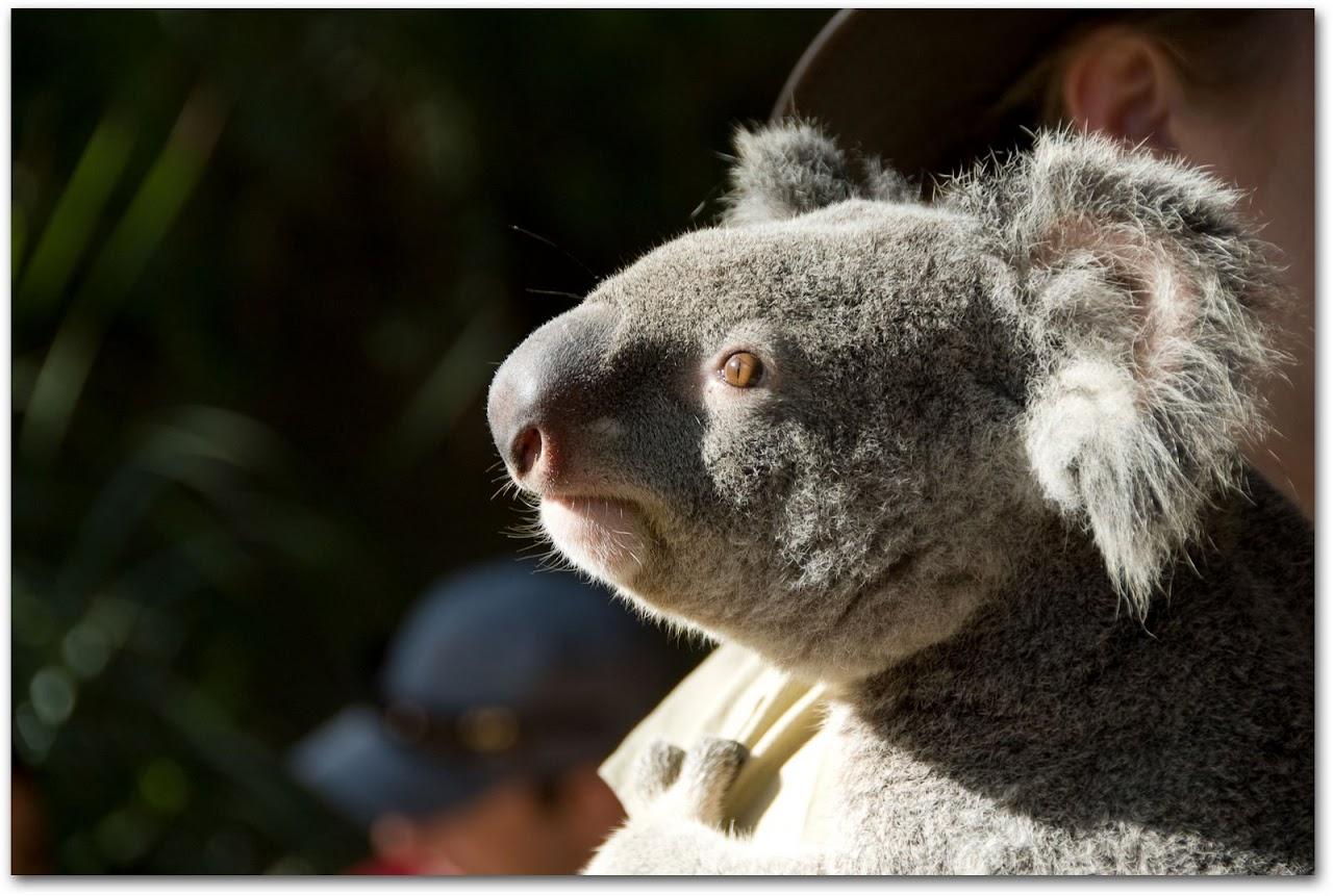 Koala close up