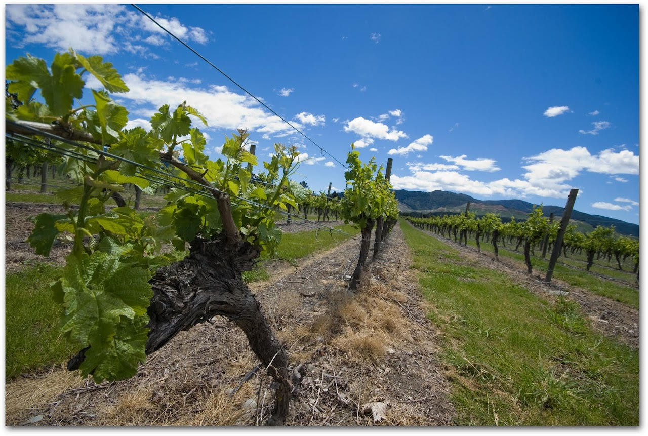 Marlborough vines