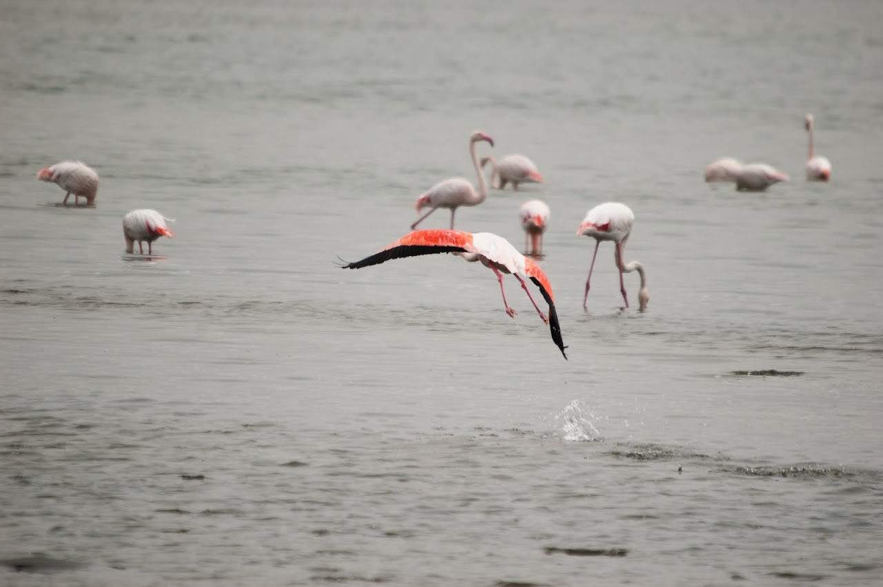 Flamingo flying