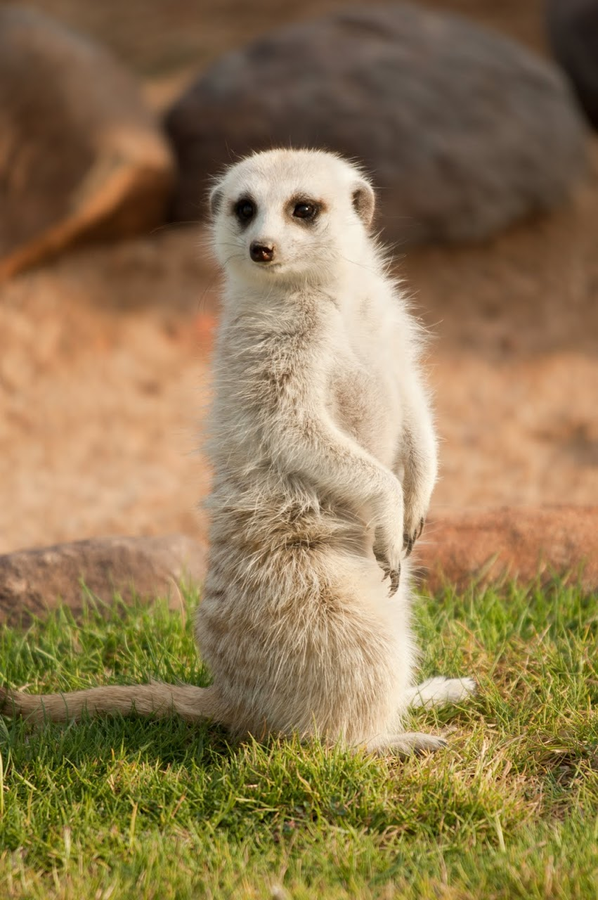 Meerkat