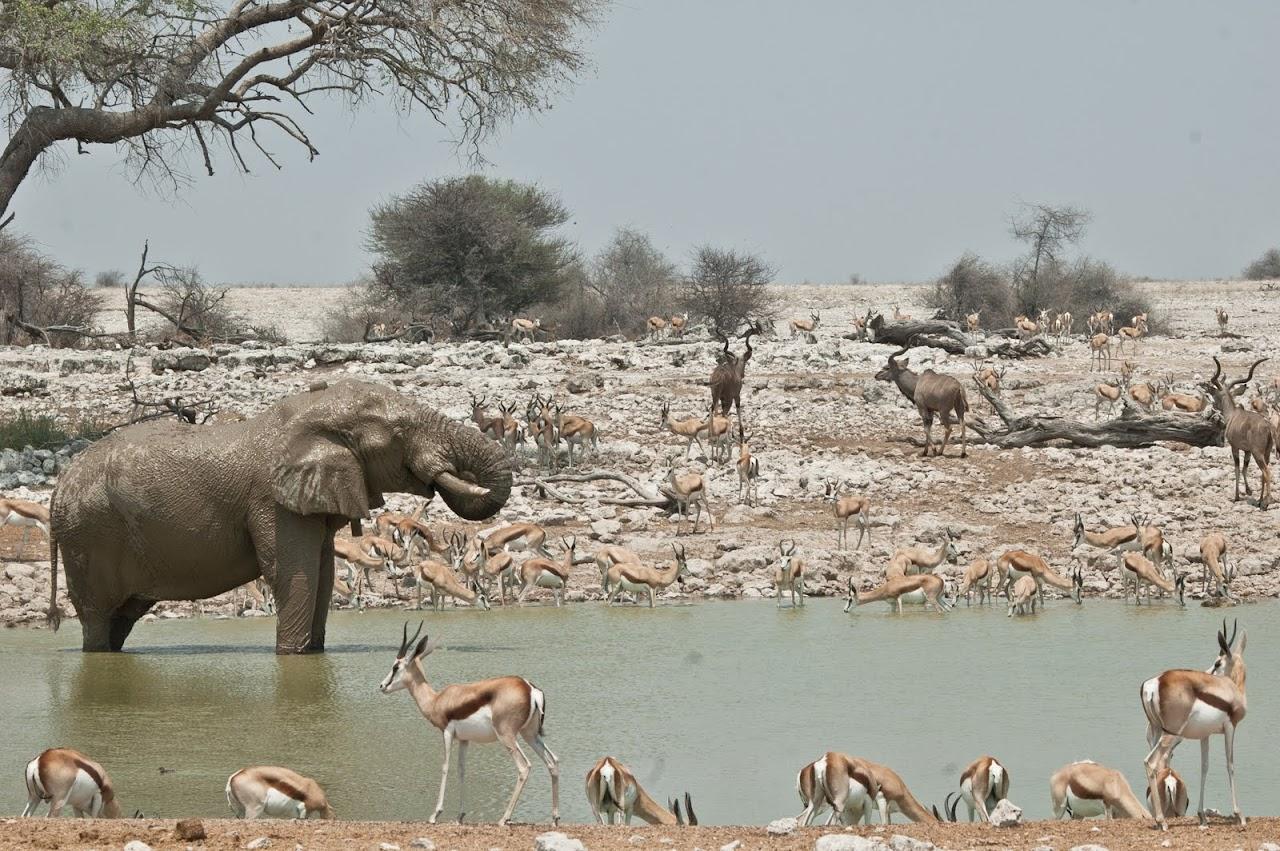 Etosha watering hole elephant