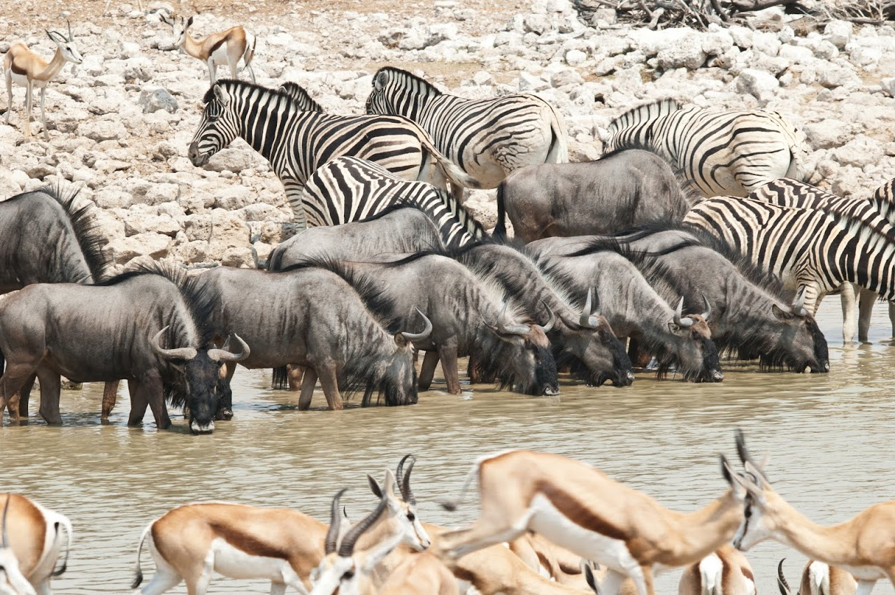 Wildebeests and zebra at Okakueje watering hole