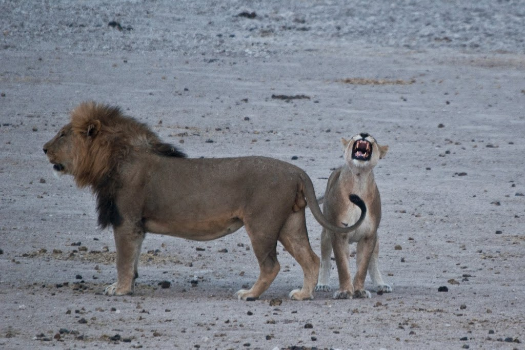 Lion and lioness growling