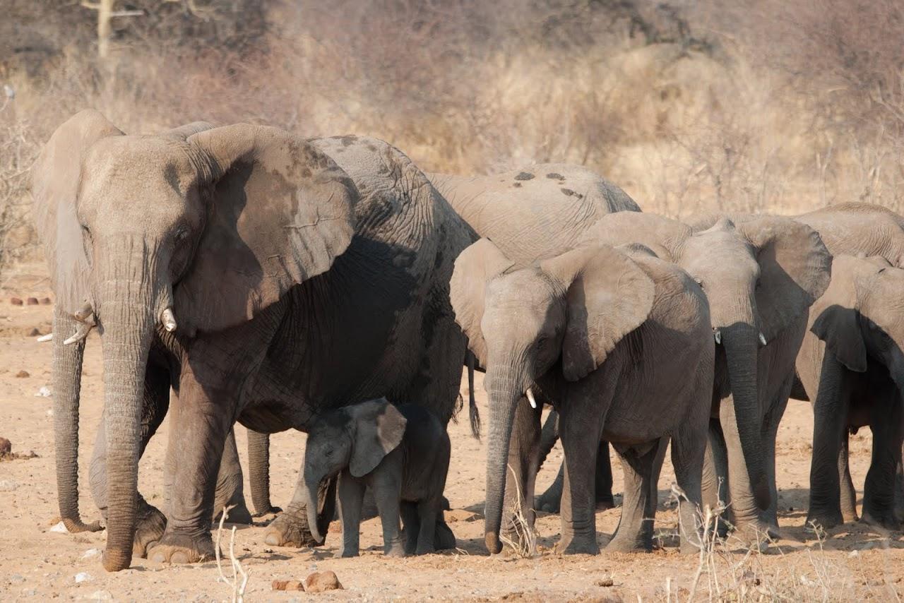 Elephants Etosha