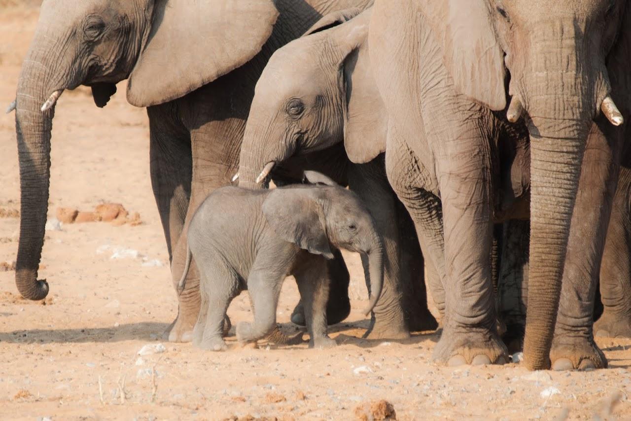 Elephants at Etosha