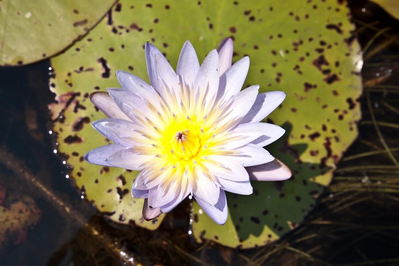 Lotus Okavango Delta