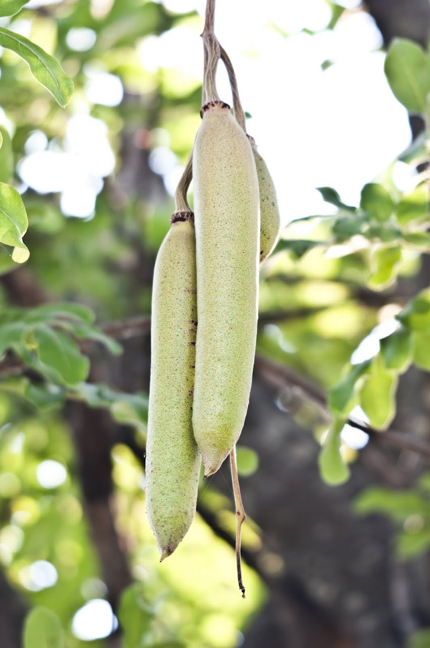 Pods from tree