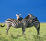 Zebra_33563127.jpg
