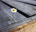 A lonely daisy_33566733.jpg