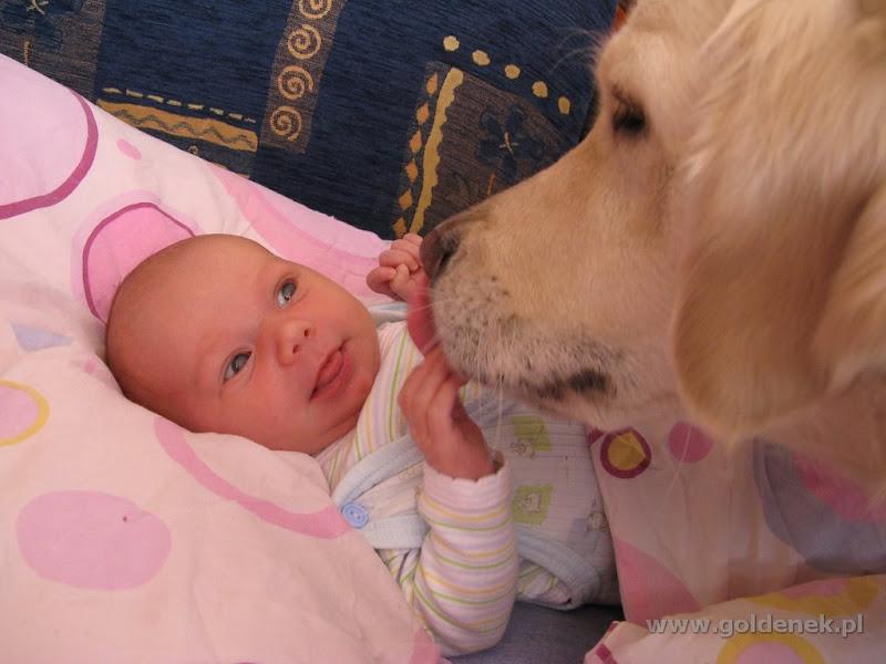 Golden Retriever i 1,5 tygodniowe dziecko