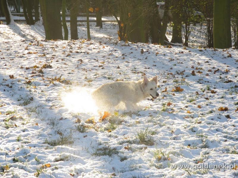 Golden Retriever poślizg na śniegu