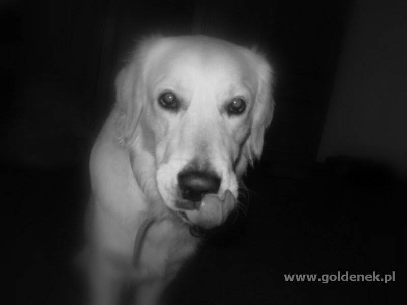 Golden Retriver głodny