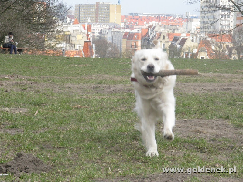 Golden Retriever z kijem