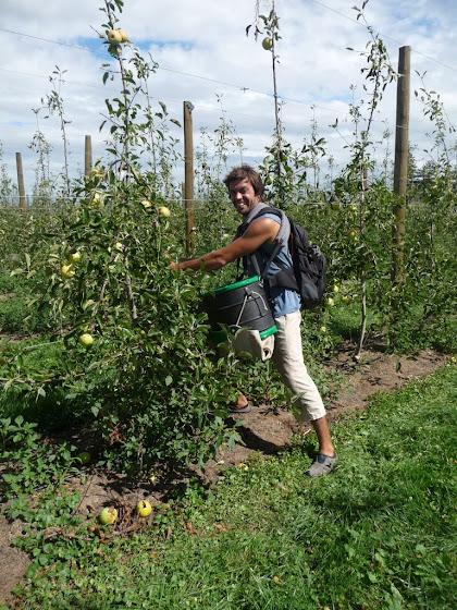 Aquí estoy haciendo el Apple Picking (juntando manzanas) en Hastings