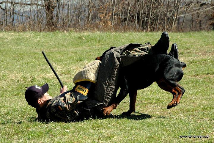 rottweiler powstrzymuje mocno pozoranta ipo