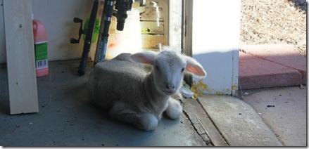 lamb help